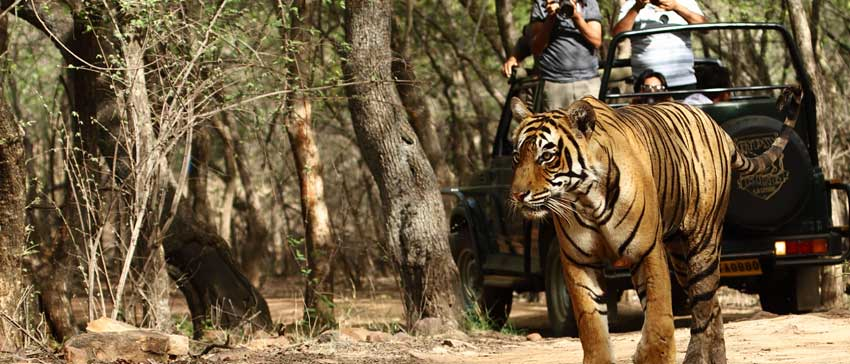Safari at Ranthambore